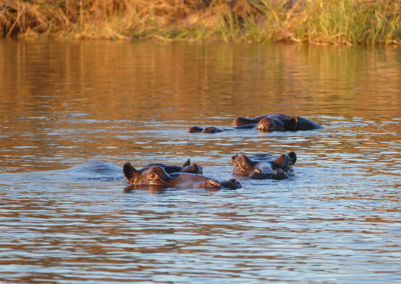 Hippos in the Kavango
