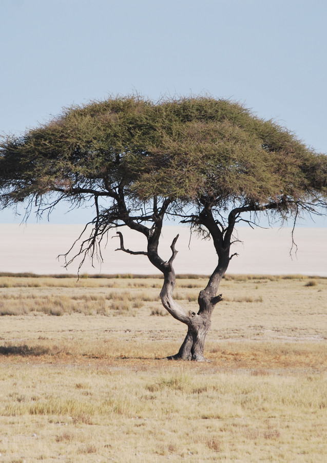 Acacia in Etosha