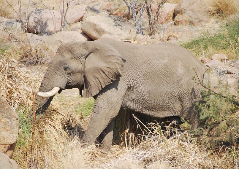 Brandberg Desert Elephants