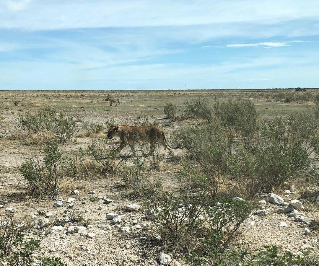 Lion in Etosha