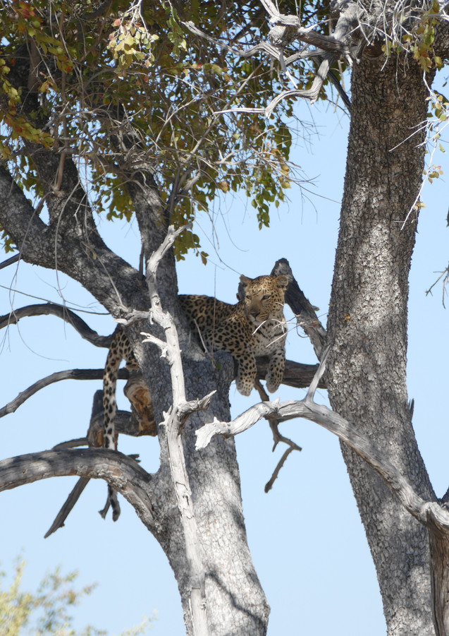 The chilling Leopard