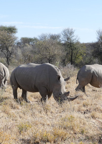 Rhinos on Okonjima