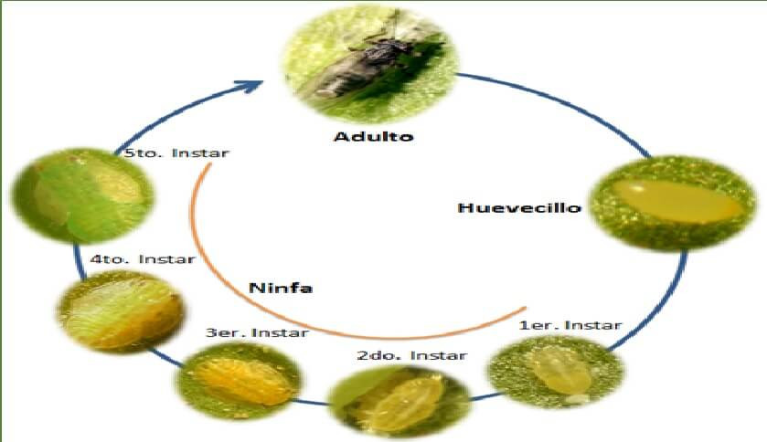 pășuni de tratare a lipitelor varicoză