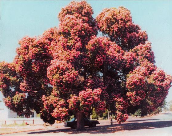 Apsley's Flowering Gum