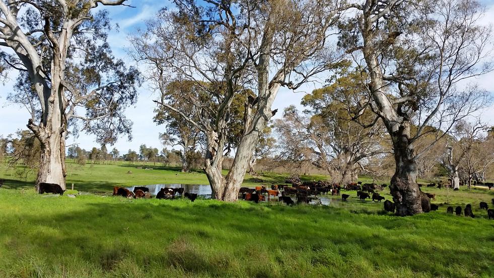 Cattle beside a water hole