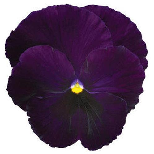Pansy Spring Matrix Purple
