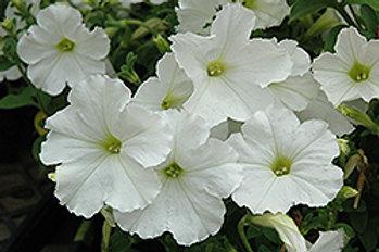 Madness White Petunias (6 pack)