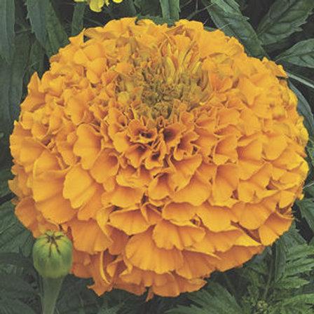 Perfection Orange Marigold