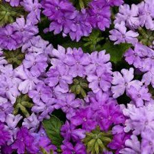 Verbena Superbena Large Lilac Blue