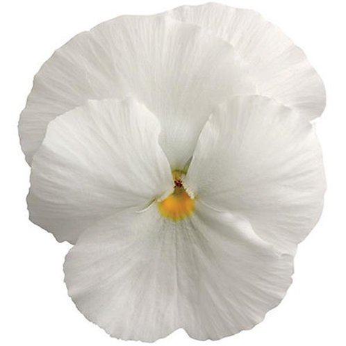 Pansy Spring Matrix White