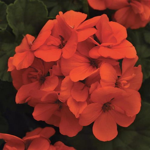 Geranium Zonal Fantasia Orange