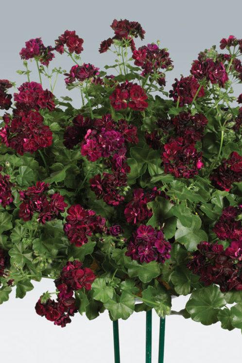 Geranium Ivy Dandy Burgundy
