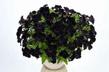 Ray Black Petunia