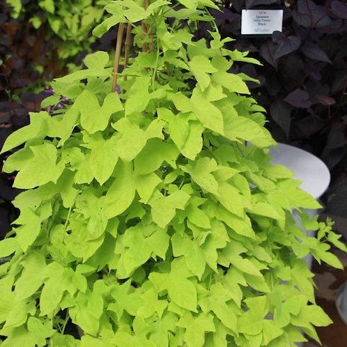 Ipomoea Solar Tower Green - Sweet Potato Vine
