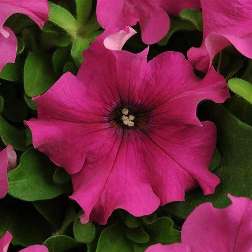Petunia Pretty Grand Purple