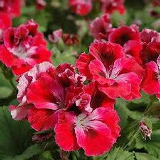 Geranium Regal Elegance Red Velvet
