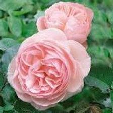 Tender Rose Heritiage