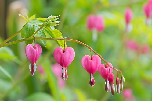 Common Bleeding Heart