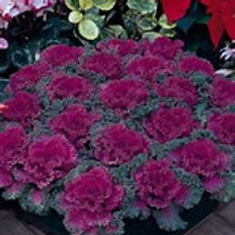 Flowering Kale Nagayo Red