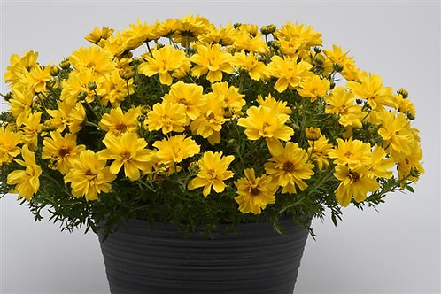 Bidens Sundrop Double Yellow