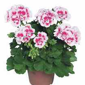 Geranium Zonal Flower Fairy White Splash