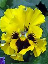 Pansy Frizzle Sizzle Yellow