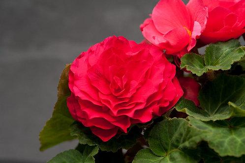 Nonstop Deep Rose Begonia