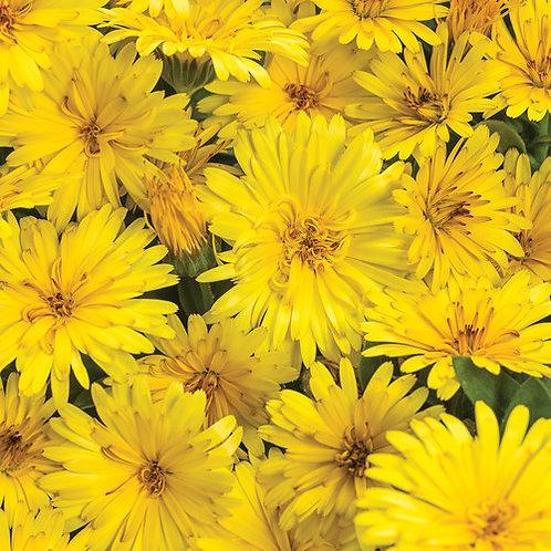 Calendula Lady Godiva Yellow