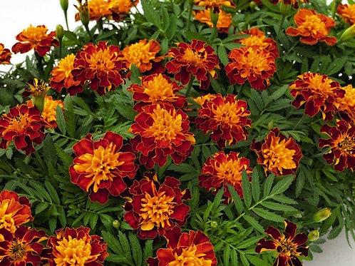 Marigold Super Hero Orange Bee