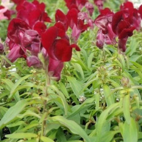 Snapdragon Montego Red