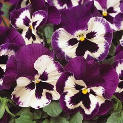 Matrix Purple And White Pansy