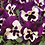 Thumbnail: Pansy Spring Matrix Purple And White
