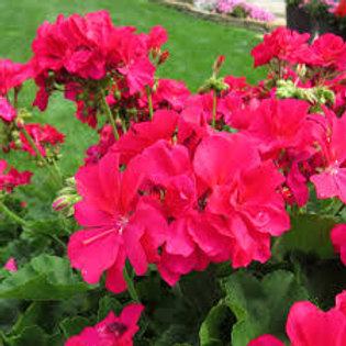 Geranium Zonal Boldly Hot Pink
