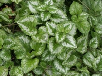 Lamiastrum Silver Nettle Vine (Fillers & Vines)