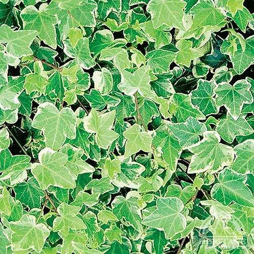 English Ivy Glacier (Fillers & Vines)