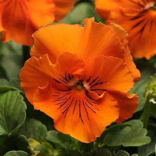 Pansy Frizzle Sizzle Orange
