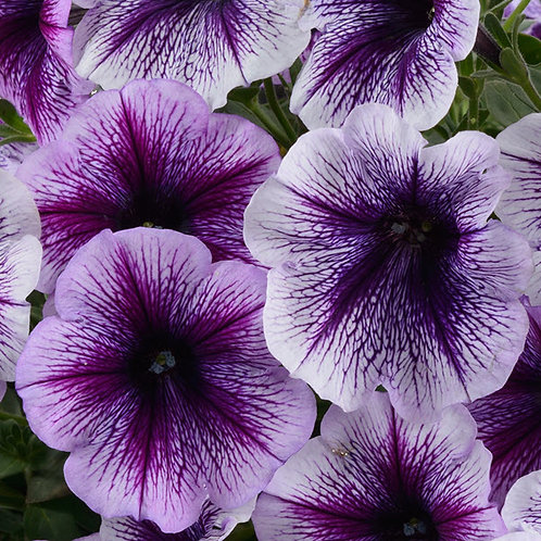 Ray Purple Vein Petunia
