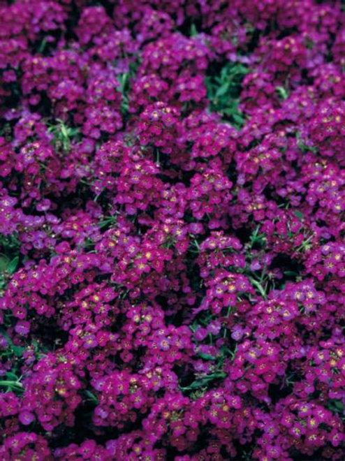 Allysum Wonderland Deep Purple