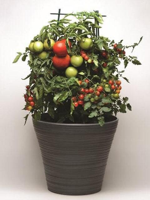 Tomato Combo 2