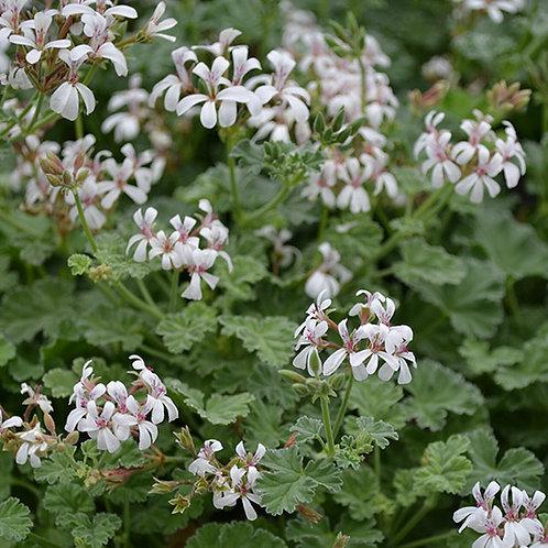 Geranium Aroma Fragrans