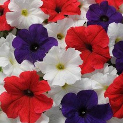 Pretty Grand Mix Petunia (6 pack)