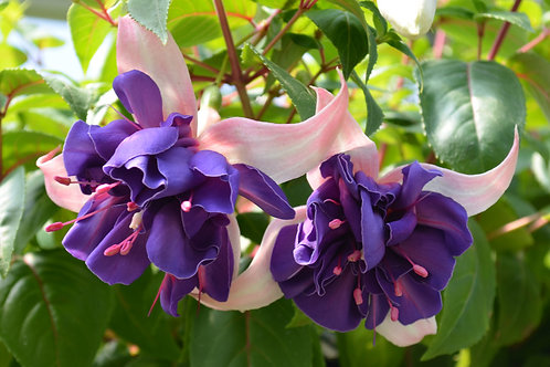 Fuchsia Giant Deep Purple