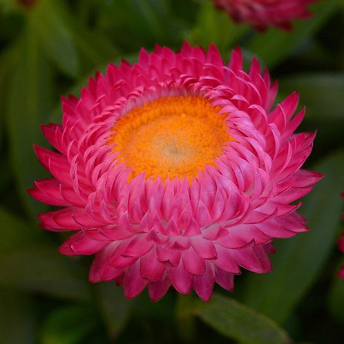 Bracteantha Dreamtime Jumbo Rose (Strawflower)