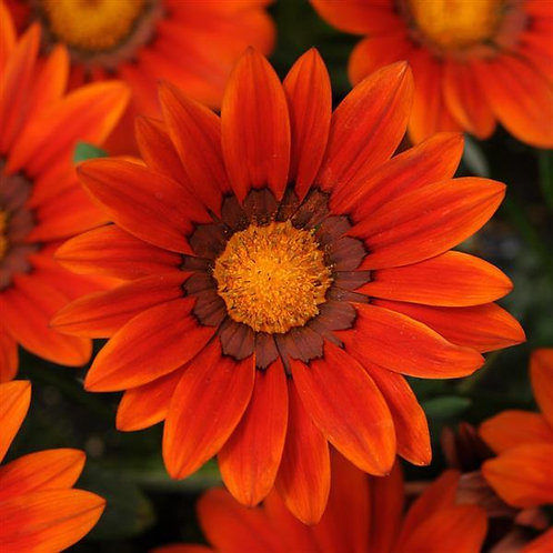 Gazania New Day Bronze