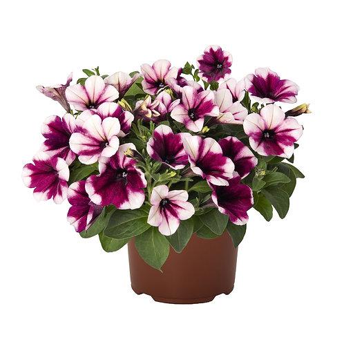 Petunia Sweetunia Purple Touch