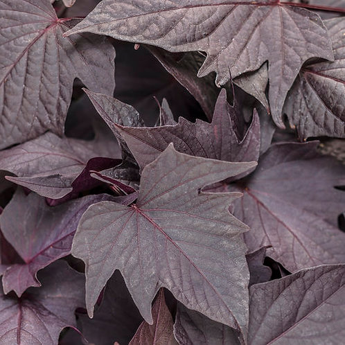 Ipomoea Sweet Caroline Bewitched After Midnight - Sweet Potato Vine