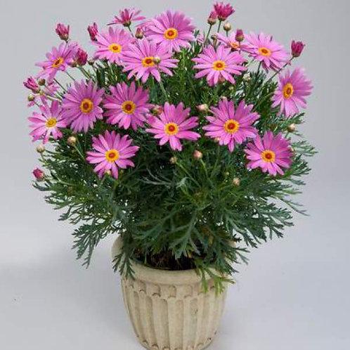 Argyranthemum Angelic Giant Pink