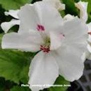 Geranium Regal Aristo Snow (Martha Washington)