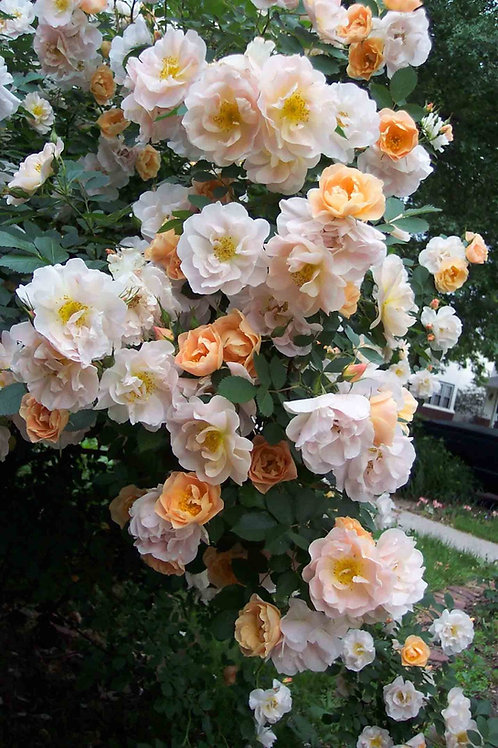 Above and Beyond Climbing Rose