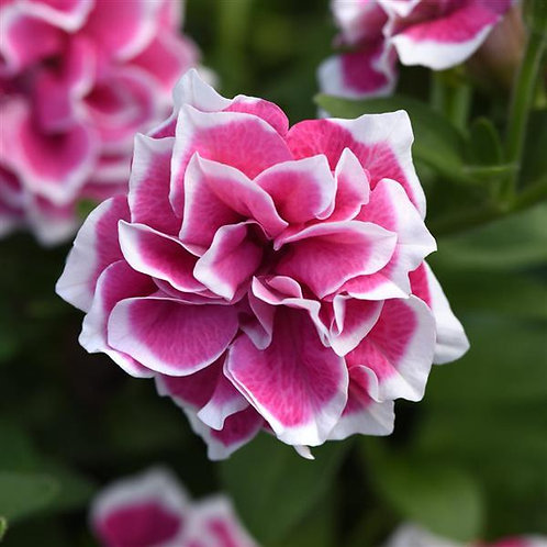 Double Pink Diamond Petunia